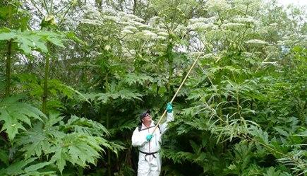 http://www.invadingspecies.com/invaders/plants-terrestrial/giant-hogweed/