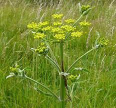 http://www.invadingspecies.com/invaders/plants-terrestrial/wild-parsnip/